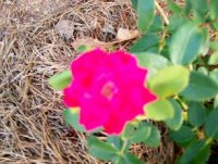 100_0293 double knockout Rose000.JPG