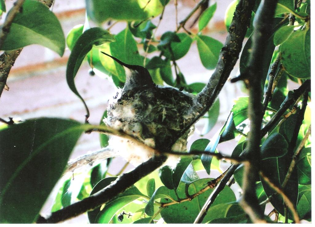 Hummingbird Mama in nest