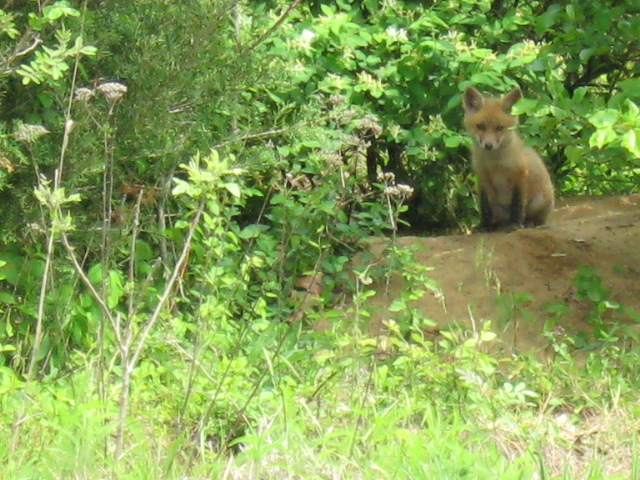 This Mama Fox is standing gaurd at the den while her 6 little cubs nap.She didn't move all...