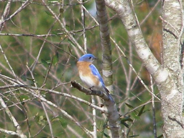 Bluebird-March2009
