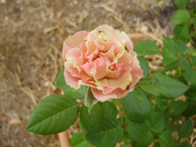 an old fashioned rose that is remarkable in turning from pink through to green as it...