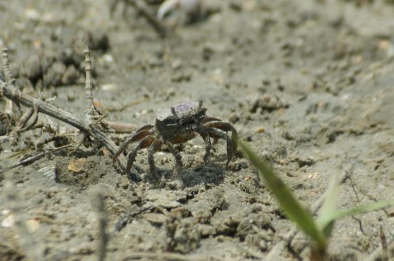 A Fiddler Crabs Life