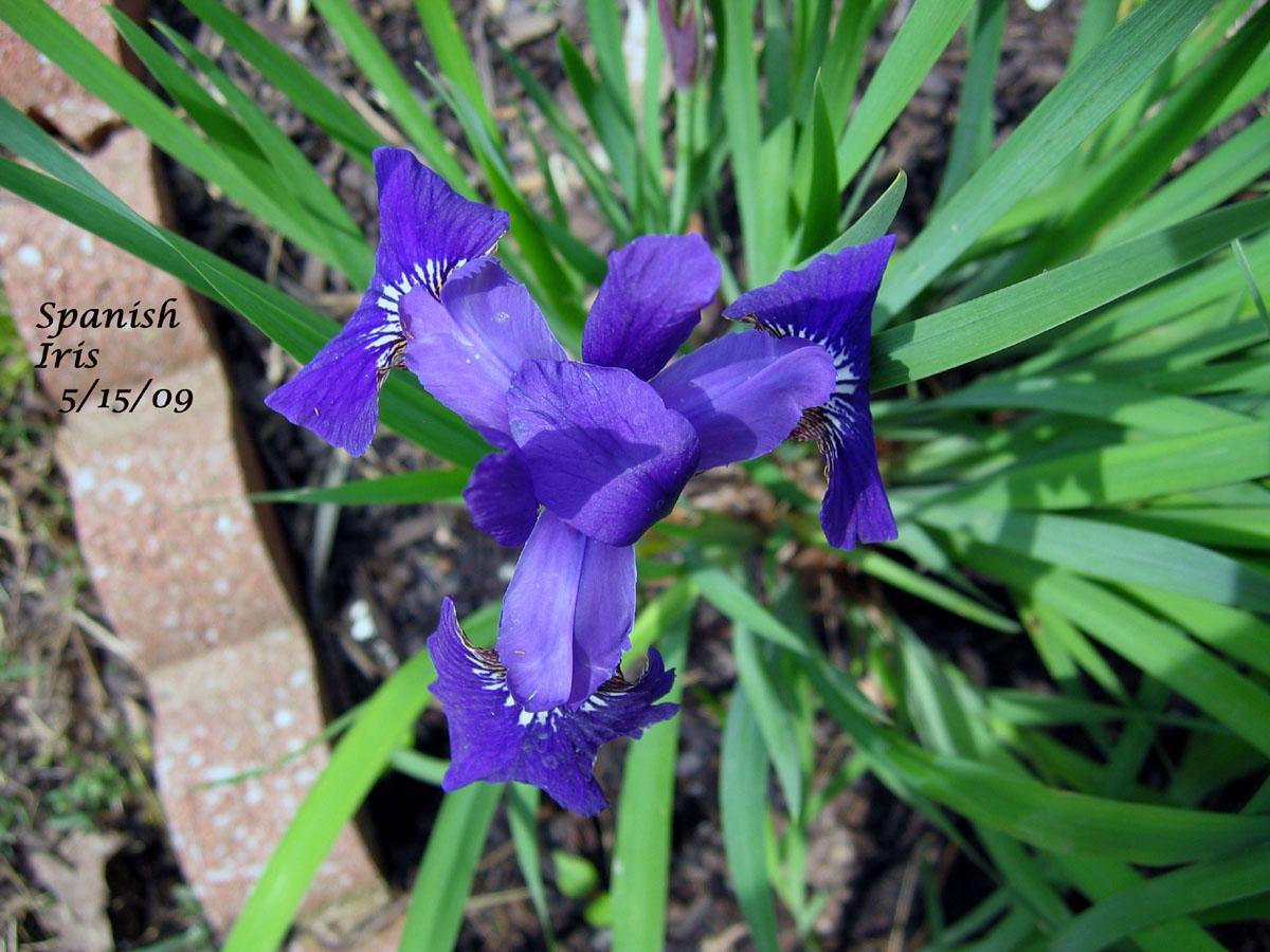 Little Spanish Iris