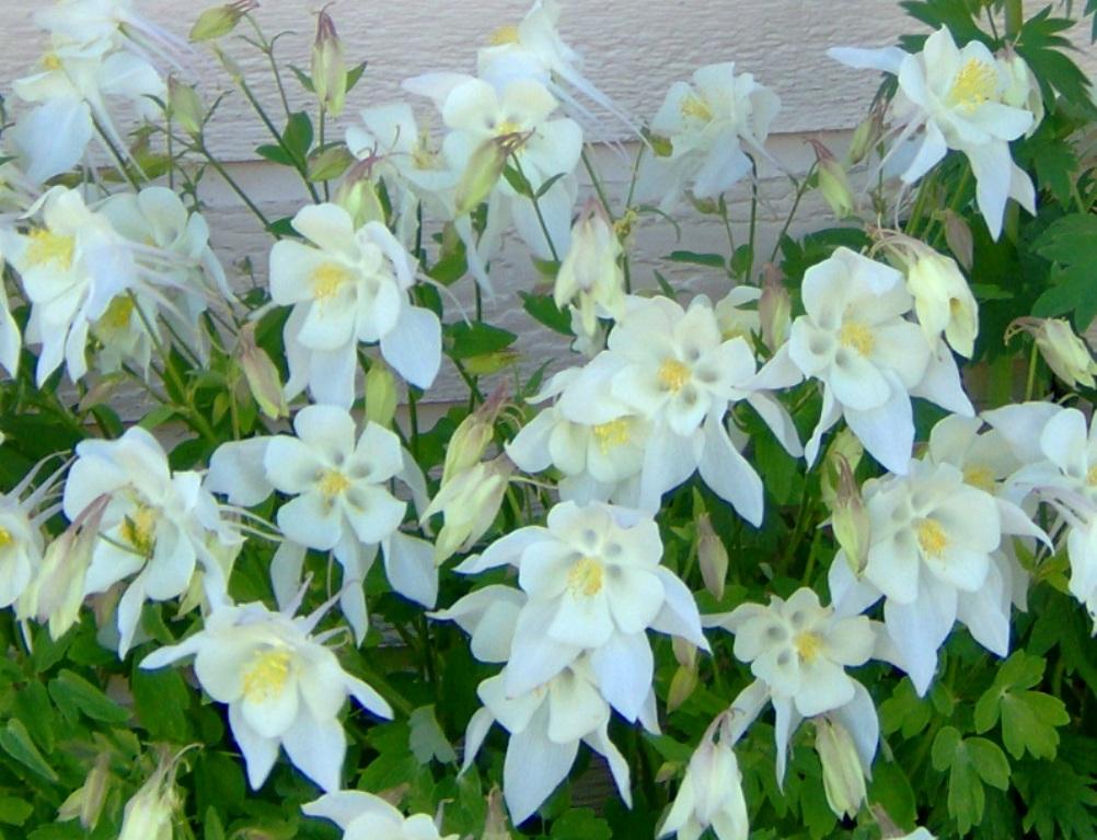 Columbine 'White Songbird'