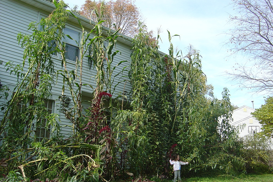 giant amaranth and corn growing along the back of my house in Ewing, New Jersey 2009.