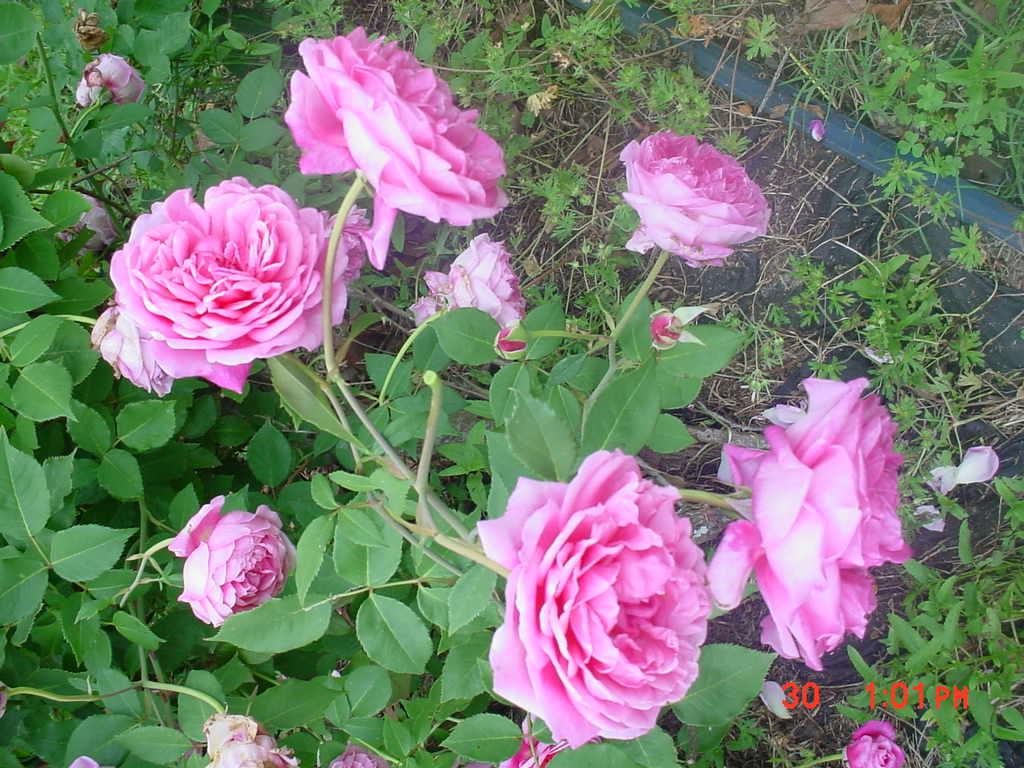Antique Cushion rose