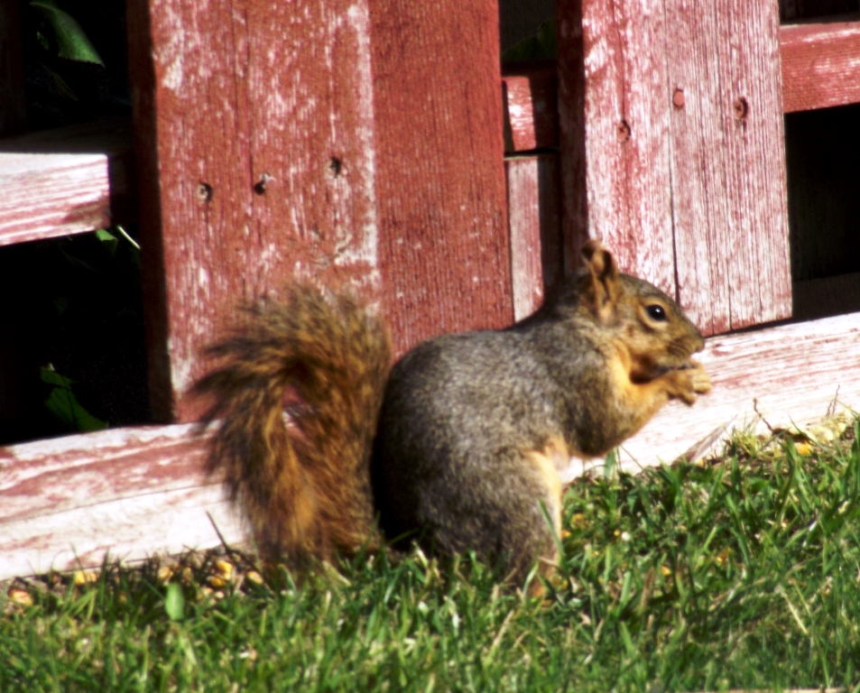 My little squirrel friend. It runs the top of the fence betweeen all the homes on my street -...