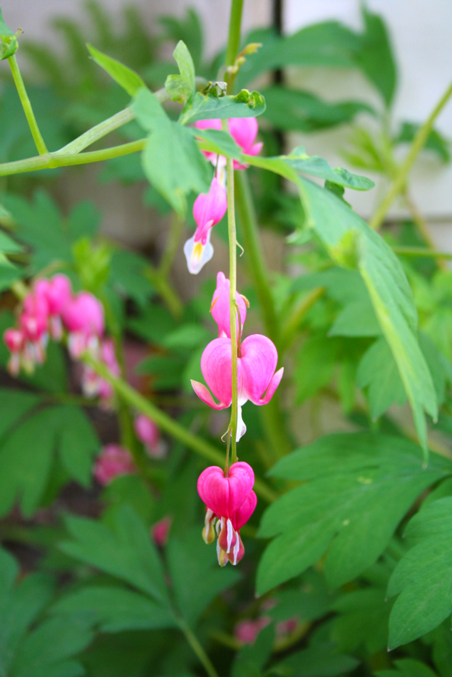 Cultivated bleeding-heart at the Hulda Klager Lilac Gardens in Woodland, WA
