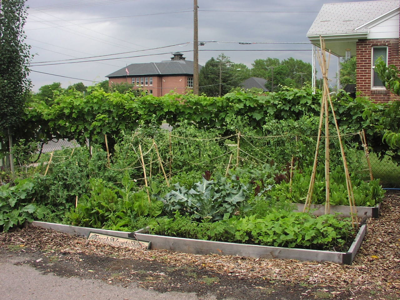 Raised Vegetable Beds With Grape Vines on Fence Behind