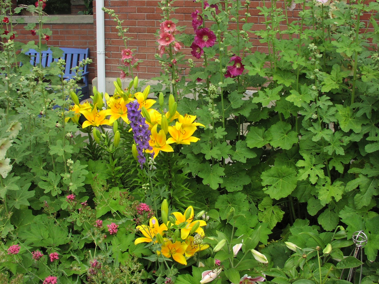 Lilies, Hollyhocks, Delphiniums and Jupiters Beard  2011