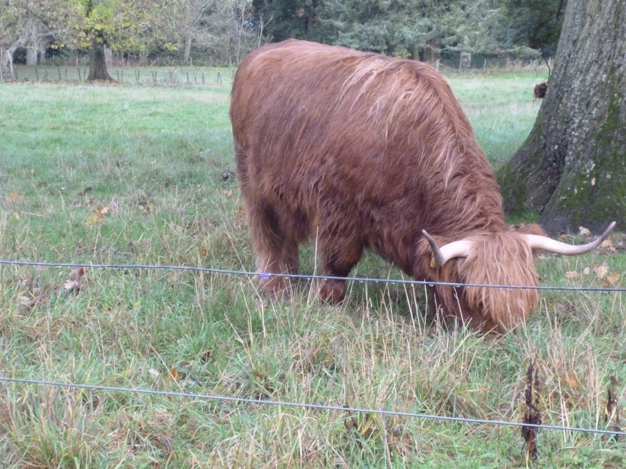 Highland Cows at Glamis Castle