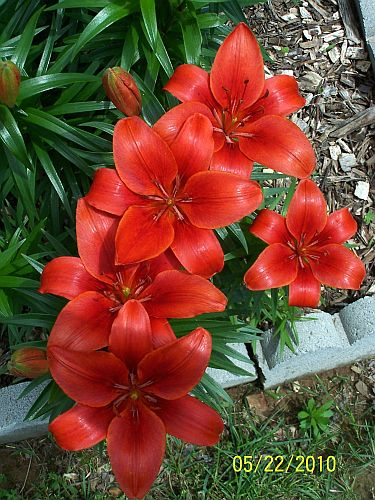 Lilies red border 4