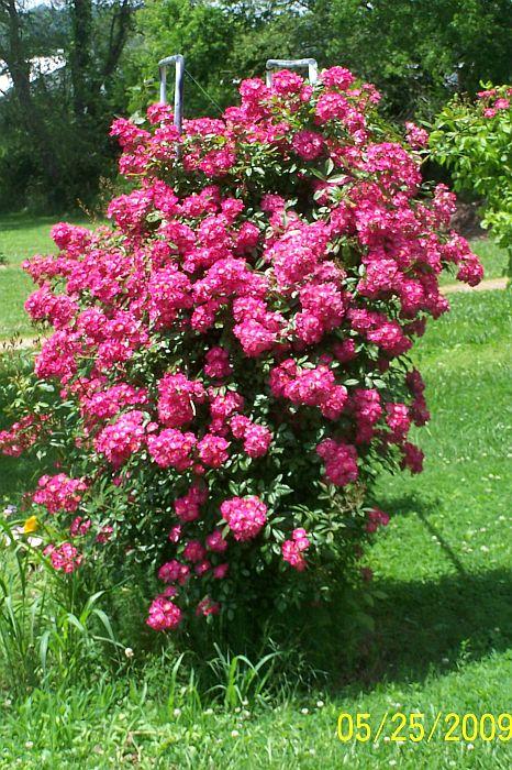 Photo Rose bush in the album New blooms in my garden