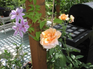 Brandy Rose rose and Clematis growing on deck.