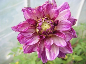two more dahlias for the dahlia lovers out there..