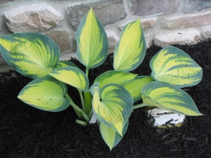 hosta photos