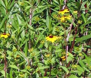 Brown-eyed and Black-eyed Susans