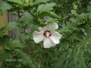 My first Rose of Sharon (Hibiscus Syriacus)