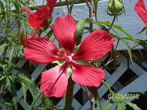 Texas Star and Hibiscus