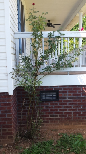 Rose bush that needs help