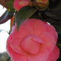 My very first Camelia