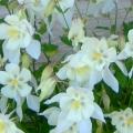Columbine 'White Songbird'
