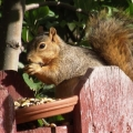 Red Squirrel - Fuzzy