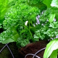 Lettuce and parsley