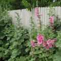 Hollyhocks on Outside of Fence 2011