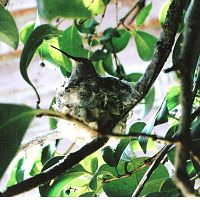 Hummingbird Mama in nest