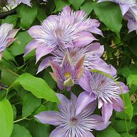 Clematis 'Crystal Fountain""