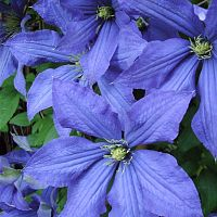 Clematis 'Rhapsody'