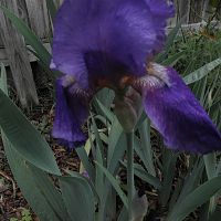 my purple iris