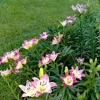 2010 Lollipop Lillies