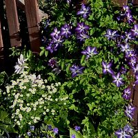 chamomile & clematis