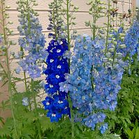 2010 June Candle type delphinium